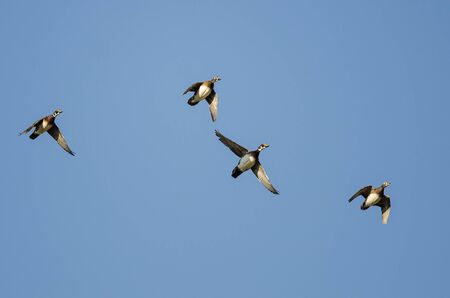 crested duck: Wood Ducks Flying in a Blue Sky