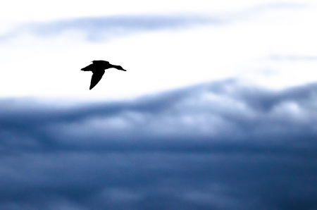 Silhouetted Duck Flying in the Dark Evening Sky