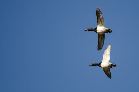 Ring-Necked Ducks Flying in a Blue Sky Stock Photo