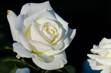 Lost in the Gentle Folds of the Delicate White Rose Stock Photo