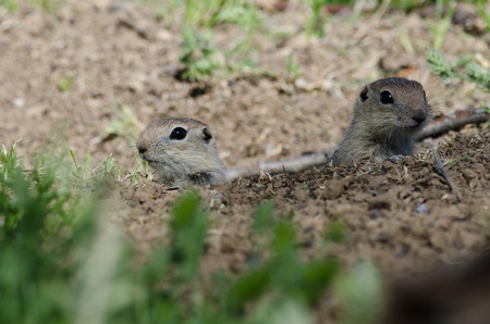over the edge: Two Little Ground Squirrels Peeking Over the Edge of Its Home