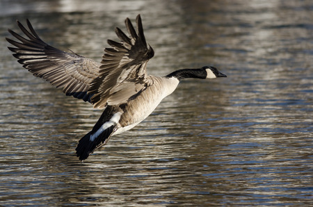 Canada Goose Coming in for a Landing on the Cold Winter River