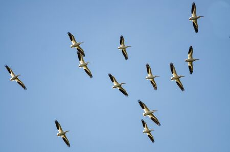 seabird: Flock of American White Pelicans Flying in a Blue Sky