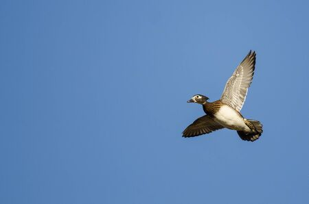 crested duck: Female Wood Duck Flying in a Blue Sky