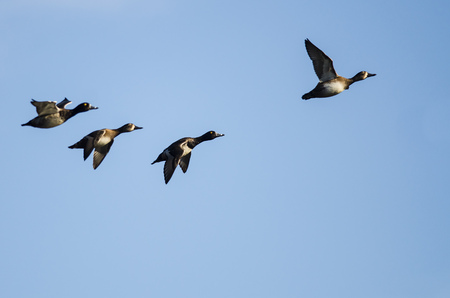 Small Flock of Ring-Necked Ducks Flying in a Blue Sky Stock Photo