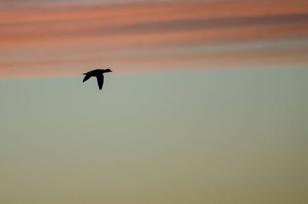 Mallard Duck Silhouetted in the Sunset Sky As It Flies Stock Photo