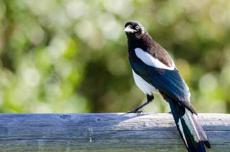 Black-Billed Magpie Perched on Wooden Fence Rail