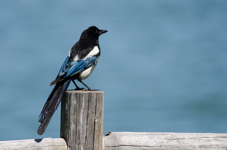 Black-Billed Magpie Perched on Wooden Fence Post Stock Photo