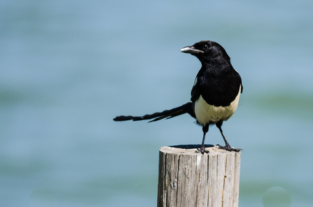 Black-Billed Magpie Perched on Wooden Fence Post Reklamní fotografie