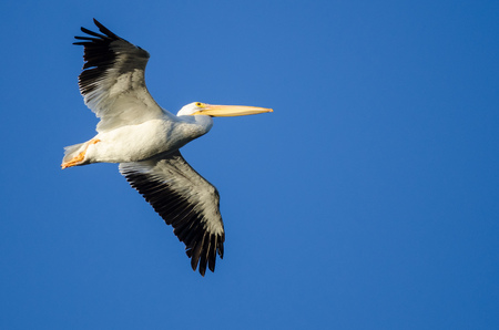American White Pelican Flying in Blue Sky