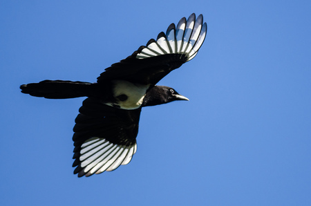 Black-Billed Magpie Flying in a Blue Sky Stock Photo