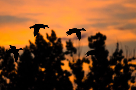 Flock of Ducks Silhouetted in the Sunset Sky As They Flies Stock Photo