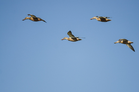 Four Northern Shovelers Flying in a Blue Sky