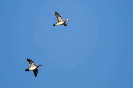 Pair of Wood Ducks Flying in a Blue Sky Imagens