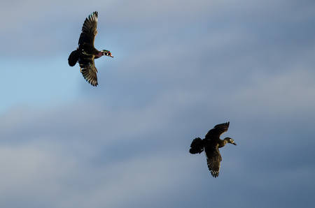 Pair of Wood Ducks Flying in a Cloudy Sky Stock Photo