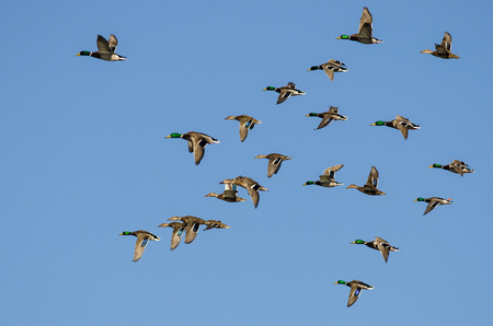 Large Flock of Mallard Ducks Flying in a Blue Sky
