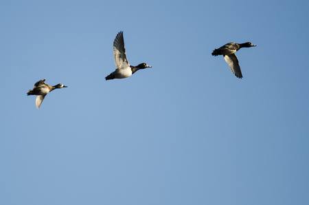 Three Ring-Necked Ducks Flying in a Blue Sky Stock Photo