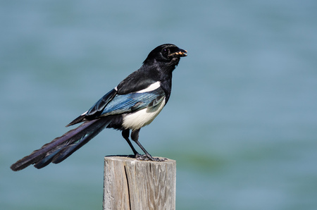 Black-Billed Magpie Perched on Wooden Fence Post Stok Fotoğraf