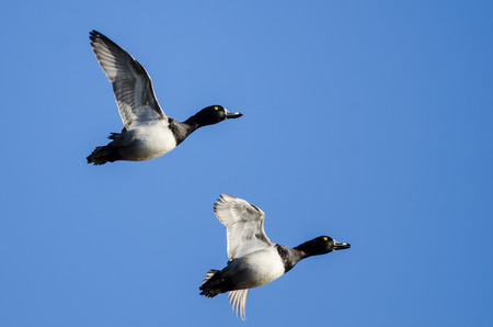 Two Ring-Necked Ducks Flying in a Blue Sky Stock Photo