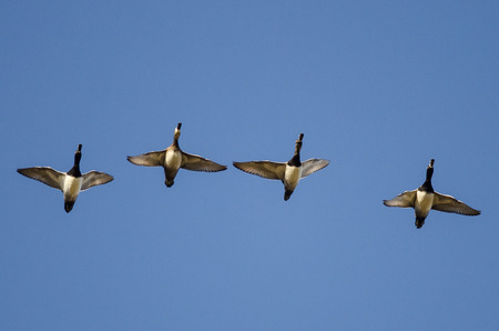 Four Ring-Necked Ducks Flying in a Blue Sky