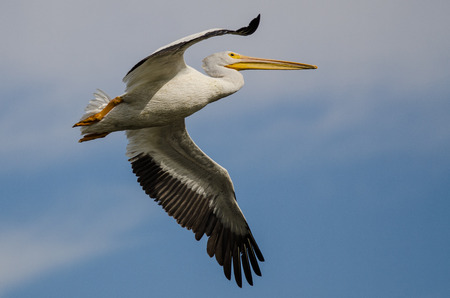 White American White Pelican Flying in a Blue Sky