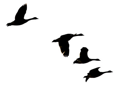 Four Silhouetted Canada Geese Flying on a White Background Stock Photo