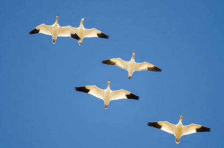 Small Flock of Snow Geese Flying in a Blue Sky Stock Photo