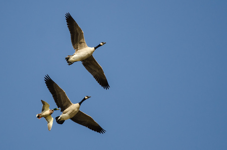 Two Canada Geese Flying With a Mallard Duck in a Blue Sky