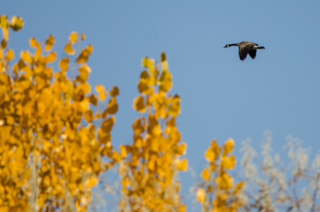 Canada Goose Flying Past a Golden Autumn Tree Stock Photo