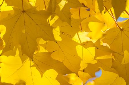 Golden Maple Leaves Exhibiting the Elegance of Autumn Stock Photo
