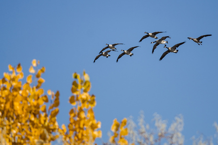 Flock of Canada Geese Flying Past a Golden Autumn Trees