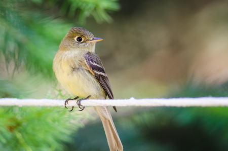 Alert Little Least Flycatcher Perched on a Clothesline