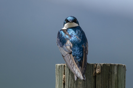 Spunky Little Tree Swallow Making Direct Eye Contact While Perched atop a Weathered Wooden Post
