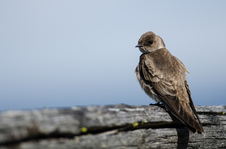 Perky Female Tree Swallow Resting on a Weathered Wooden Fence Rail