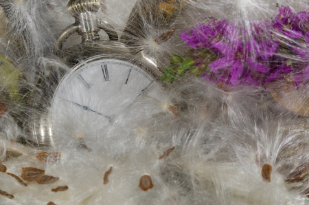 Passage of Time: Pocket Watch Resting in a Soft Bed of Milkweed Fibers Stock Photo