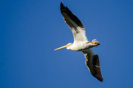 American White Pelican Flying in a Blue Sky