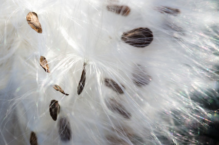 Nature Abstract: Elegant White Milkweed Fibers Presenting Their Seeds