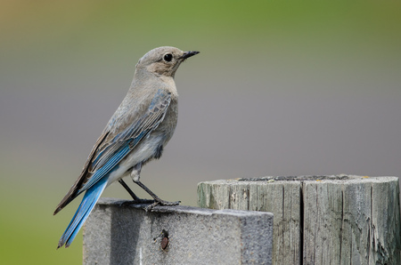 Proud Mountain Bluebird Perched Atop a Weathered Wooden Post