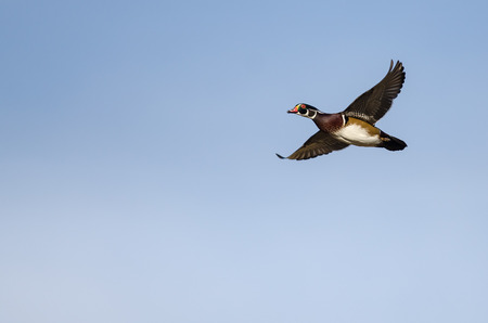 Wood Duck Flying in a Blue Sky Stock Photo