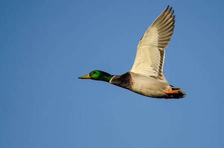 Mallard Duck Flying in a Blue Sky Banco de Imagens