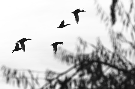 Flock of Flying Ducks Silhouetted on a White Background Foto de archivo - 114921250