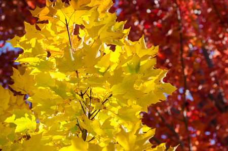 Golden Maple Leaves Exhibiting the Elegance of Autumn Reklamní fotografie