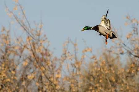 Mallard Duck Landing in the Autumn Wetlands Foto de archivo - 114921346