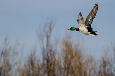 Mallard Duck flying Low Over the Autumn Trees