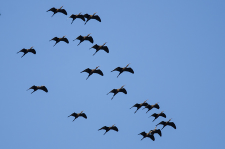Flock of White-faced Ibis Flying in a Blue Sky Stock Photo