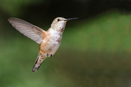 Adorable Little Rufous Hummingbird Hovering in Flight Deep in the Forest Фото со стока - 114921684