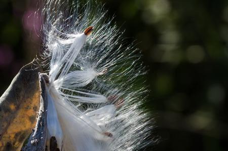 Nature Abstract: Elegant White Milkweed Fibers Presenting Their Seeds