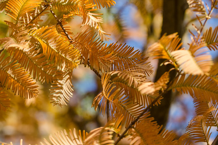 Golden Branches of Autumn Displayed on a Dawn Redwood Tree