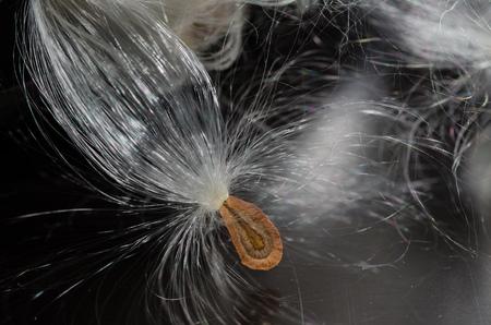 Elegant White Milkweed Fibers Presenting Its Seed