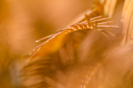 Nature Abstract: Golden Needles of the Dawn Redwood in Autumn Stock Photo